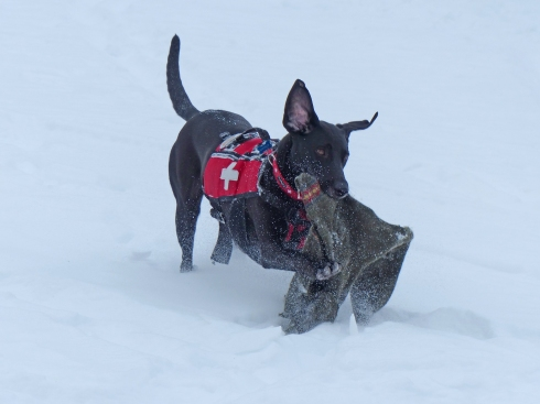 Stella the Rescue Dog runs back with the sweater she recovered from under the snow.